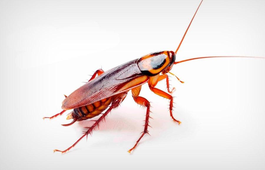 Мифы и факты о тараканах