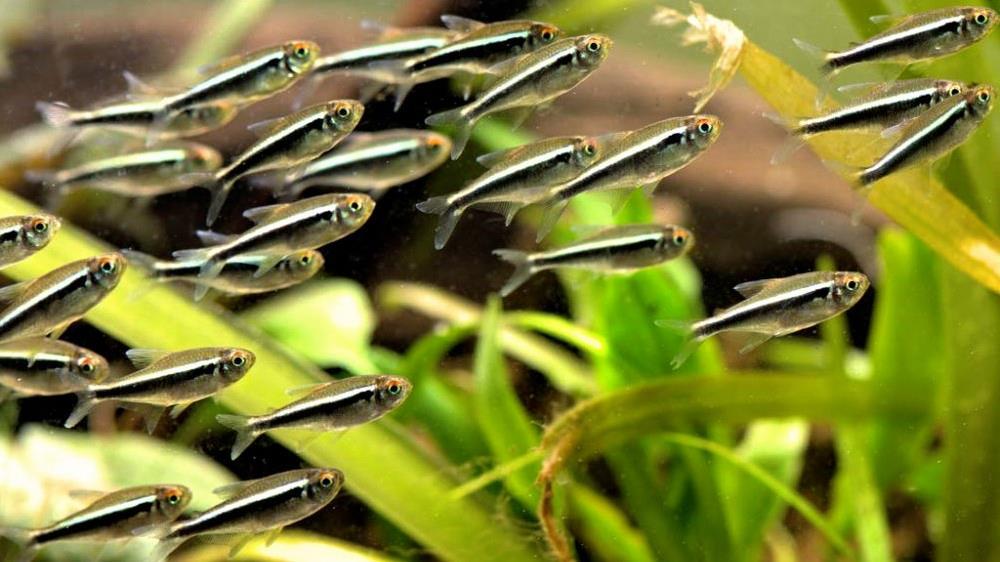 Черный неон: особенности содержания пресноводной рыбы
