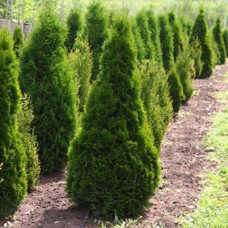 Как выбирать саженцы хвойных деревьев?